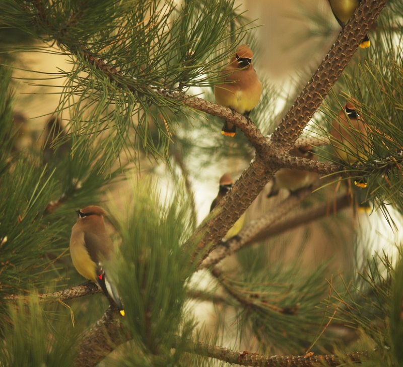 Waxwing In Pine Tree