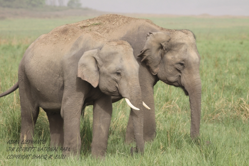 Indian Elephants – Corbett National Park