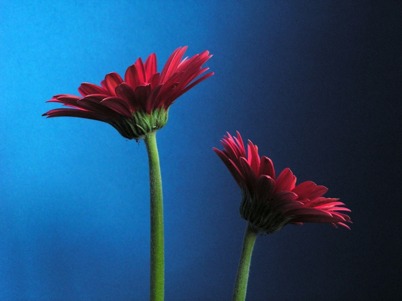 Gerbera In Blue