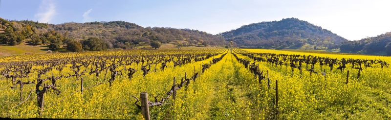Napa Valley Vineyards, Mountains And Mustard