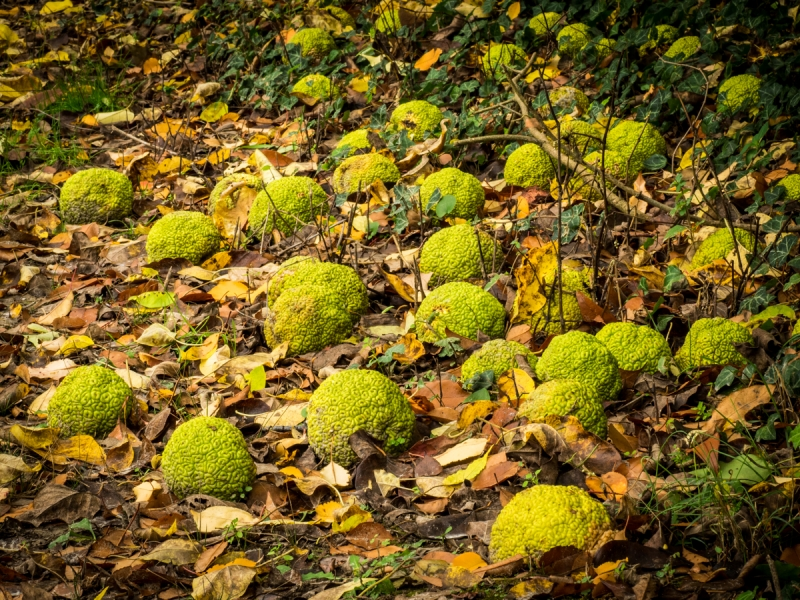 Hedge Apples On The Ground