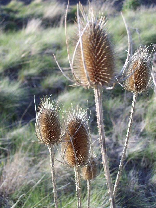 Grant County Bullthistle