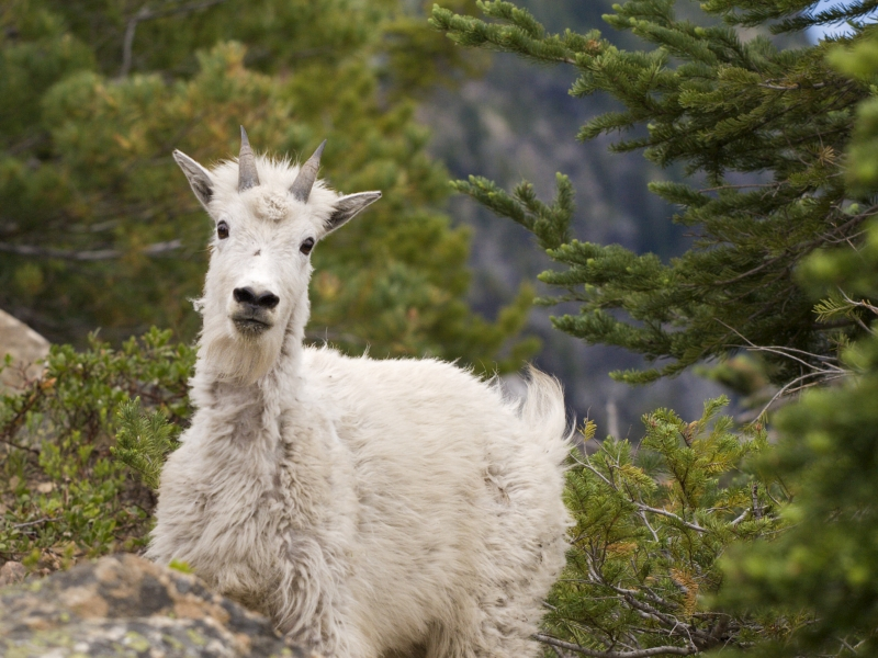 Peekaboo Mountain Goat