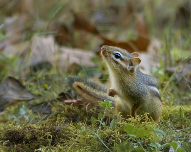 Morning Chipmunk