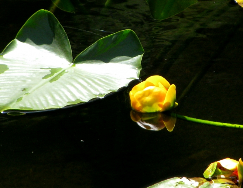 Yelloow Water Lily