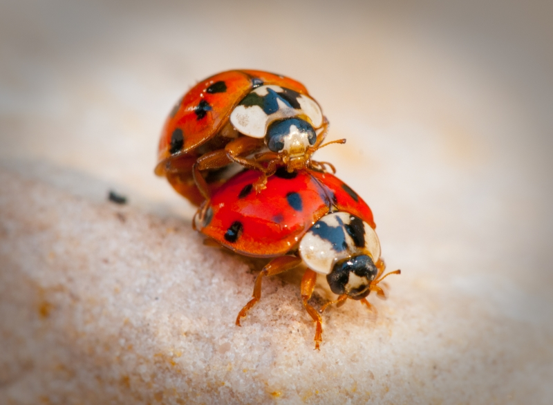 Two Ladybugs In Love