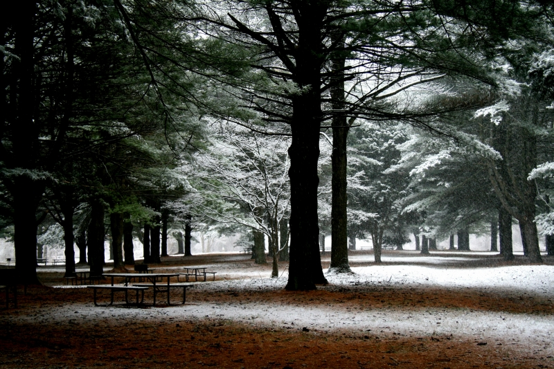 Snowscape In The Pines
