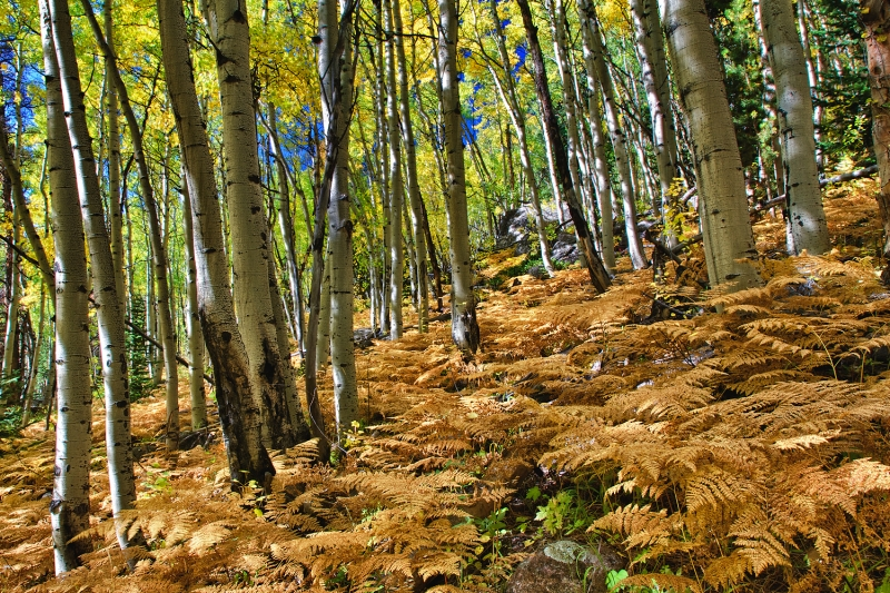 Golden Ferns In Aspen Grove