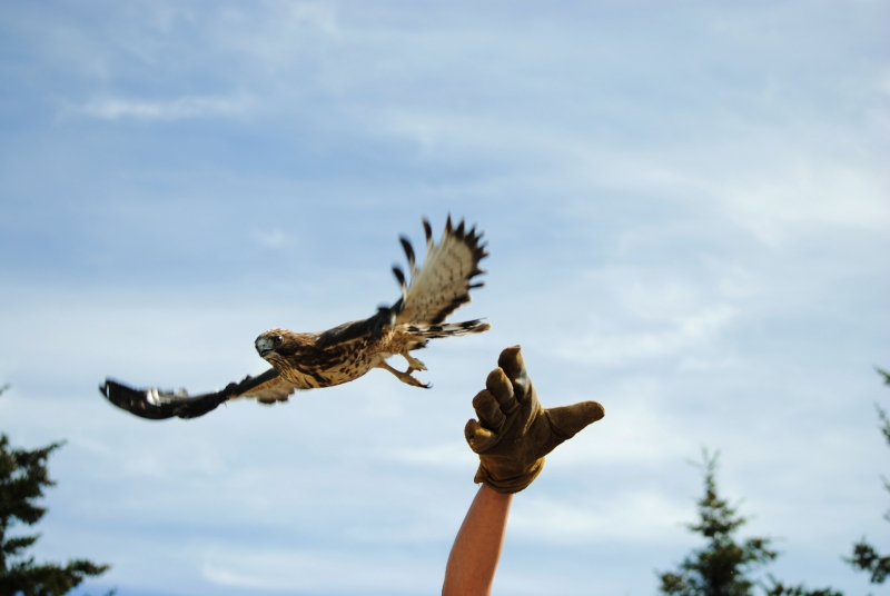 Broad-winged Hawk Release