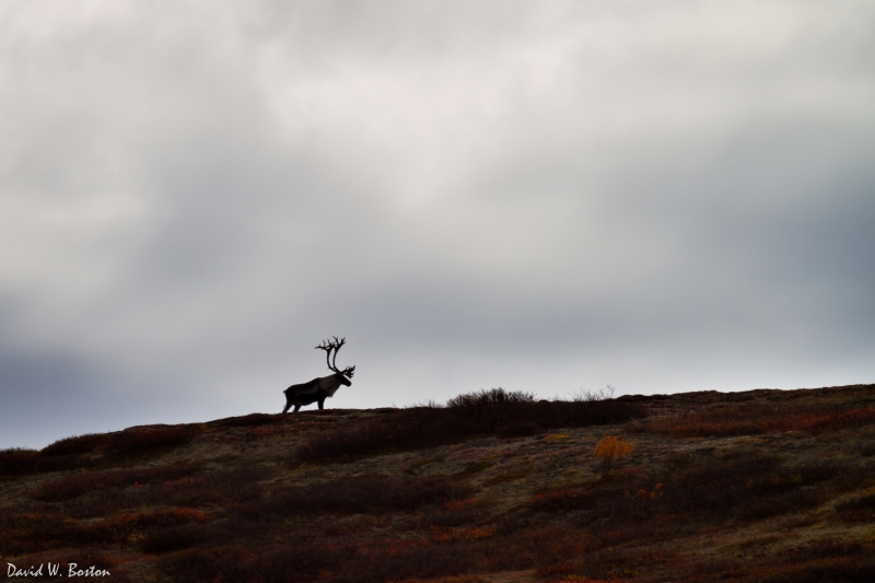 Bull Caribou (rangifer Tarandus) On A Ridge