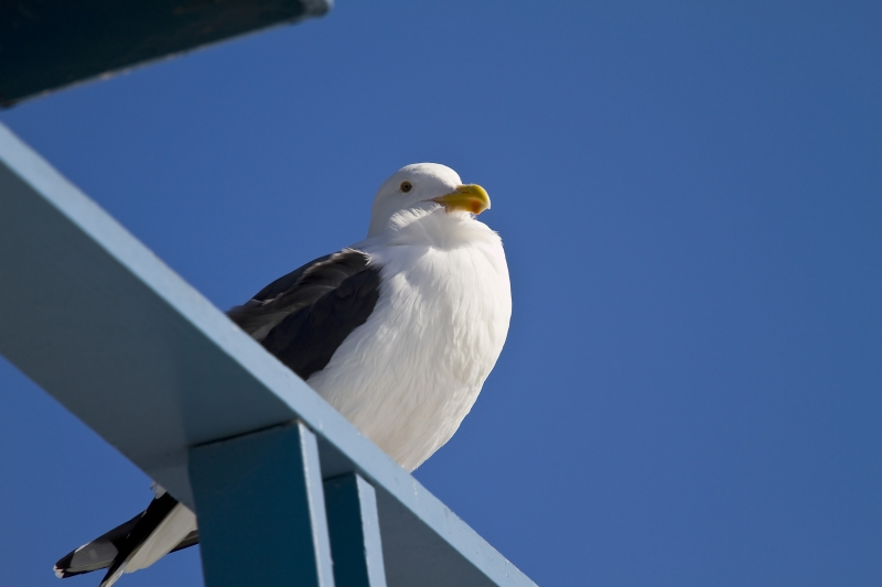 Seagull Posing For Picture