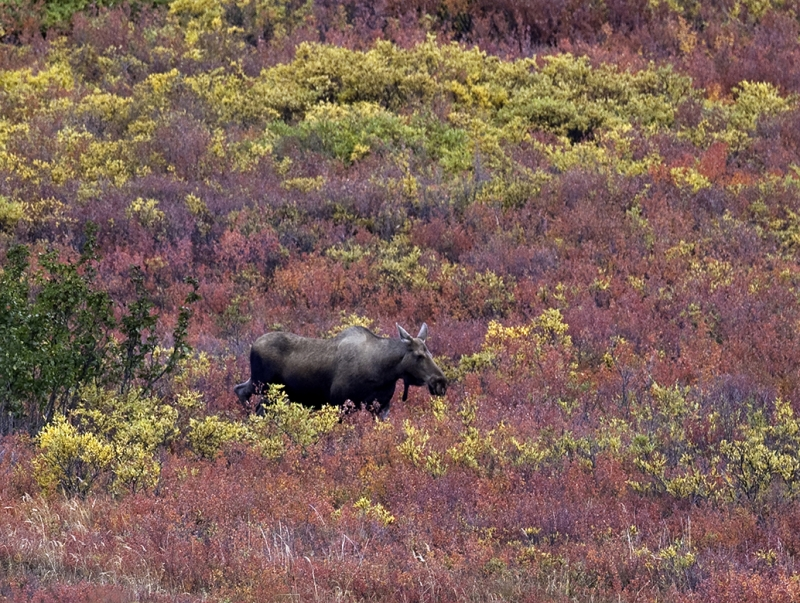 Moose In Tundra