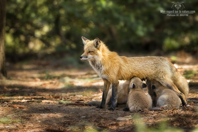 Red Fox Beautiful Mother And Her Baby !!