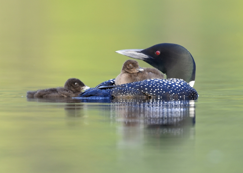 Loon Chicks