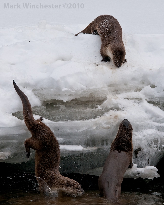 River Otters Playing Tag