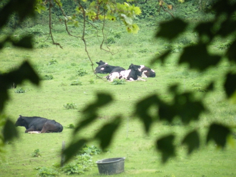 Sleeping Cows