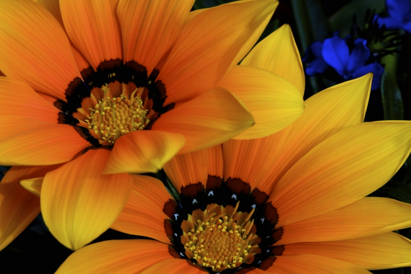 Twin Gazanias And A Flash Of Blue