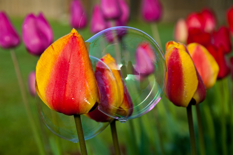 Bubble On Tulips