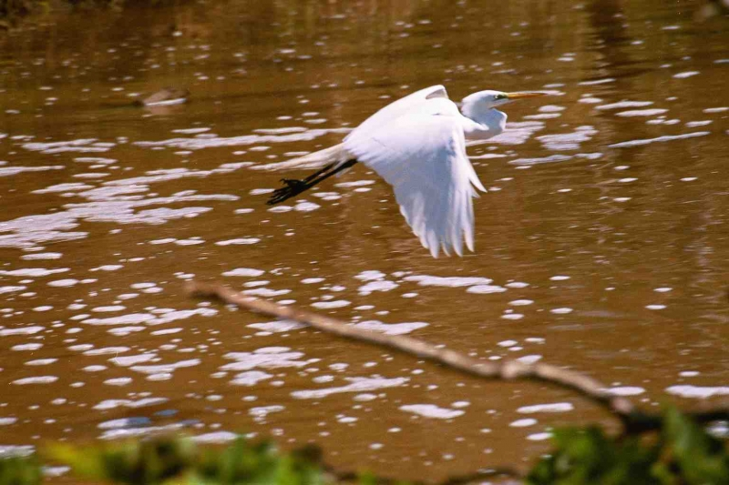 Flight Of The Egret
