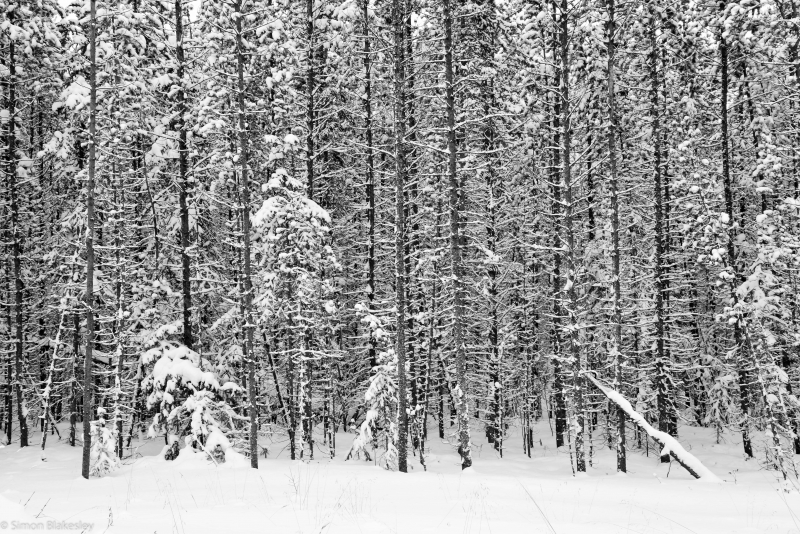Spruce Trees After The Storm