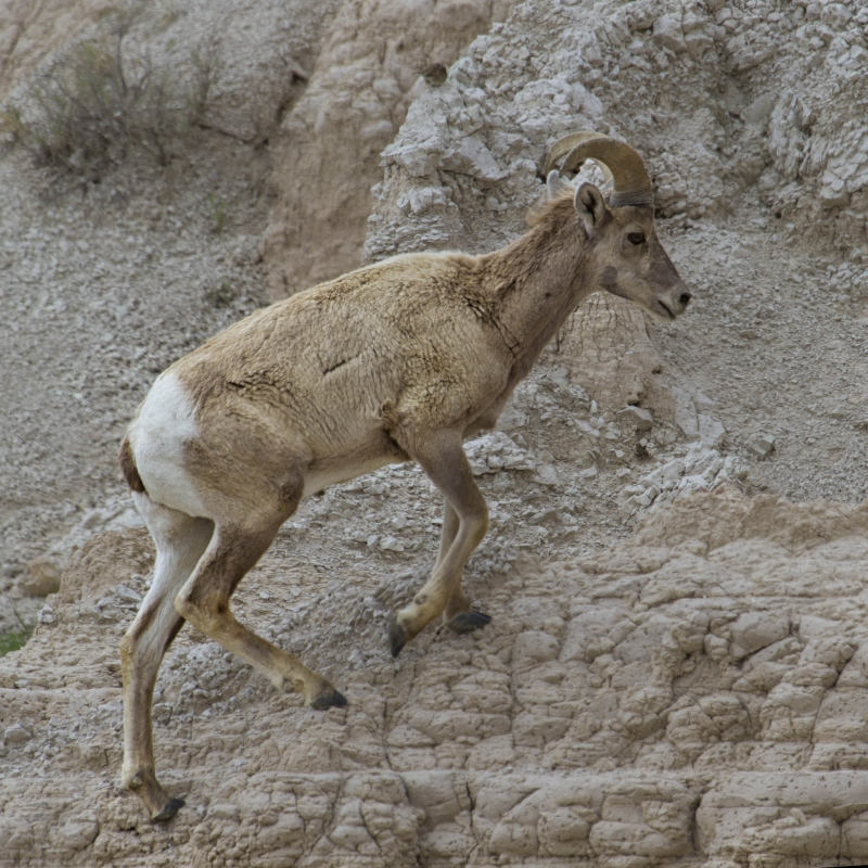 Young Ram Climbing The Mud Cliffs