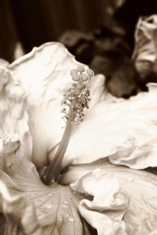 Tropical Hibiscus In Sepia