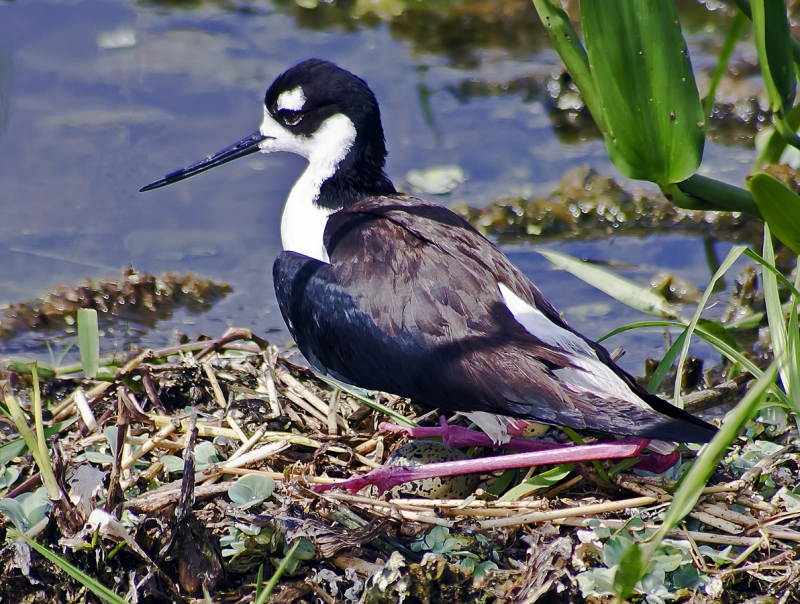 Black-necked Stilt Laying Egg