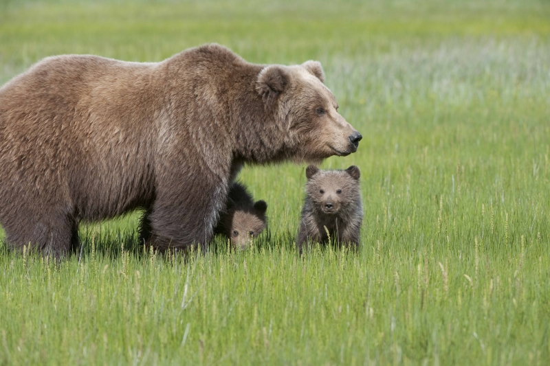 Brown Bear Cubs Seek Mother's Shelter