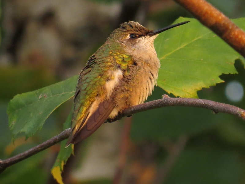 Young Male Ruby Throat Hummingbird At Dusk