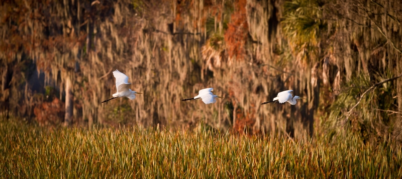 Pano Of A Great Egret