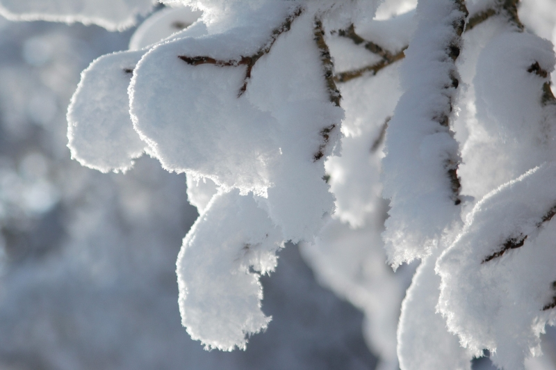 Snow Clinging To Aspen Branches