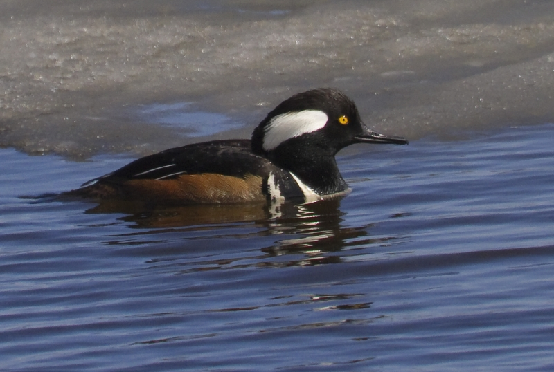 Spring Hooded Mergansers