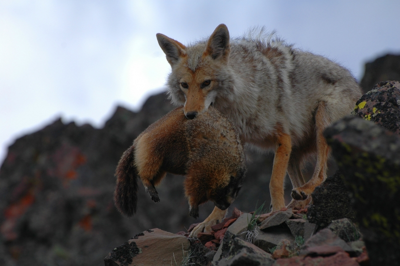 Coyote With Freshly Killed Marmot