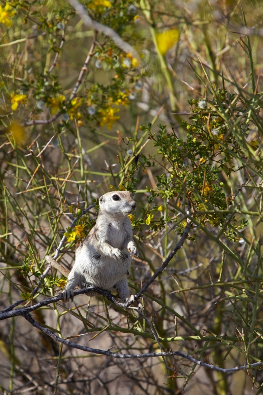 Squirrel In The Creosote