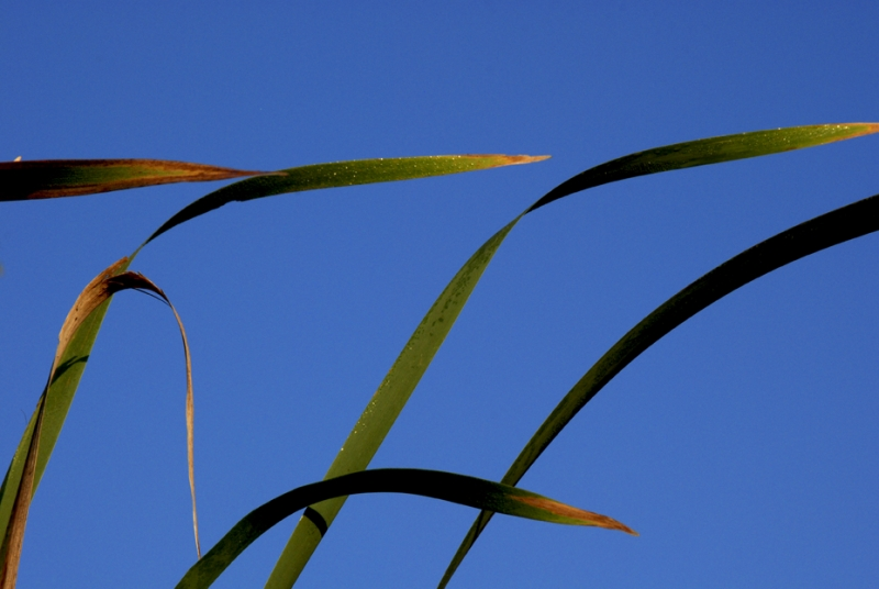 Cattail Leaves And Sky
