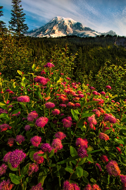 Rosy Spirea And Mt. Rainier, Mt. Rainier National Park