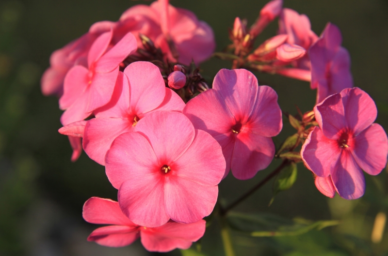 Flaming Pink Phlox