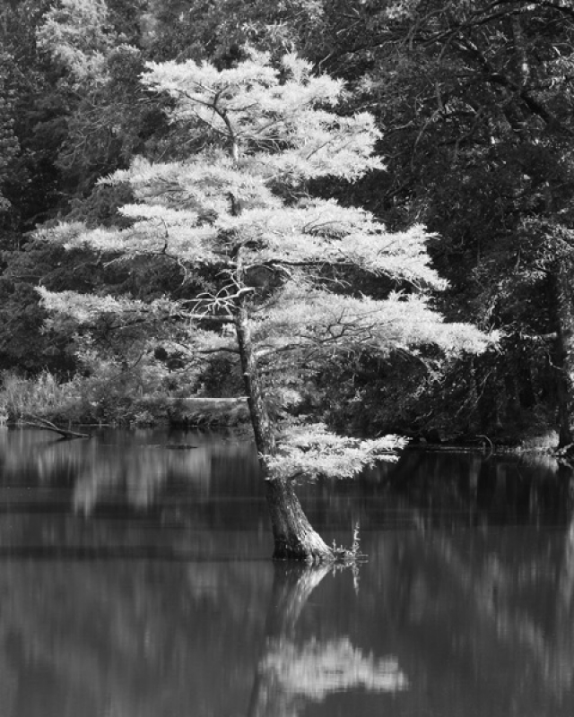 Lone Cypress In An Ozark Swamp