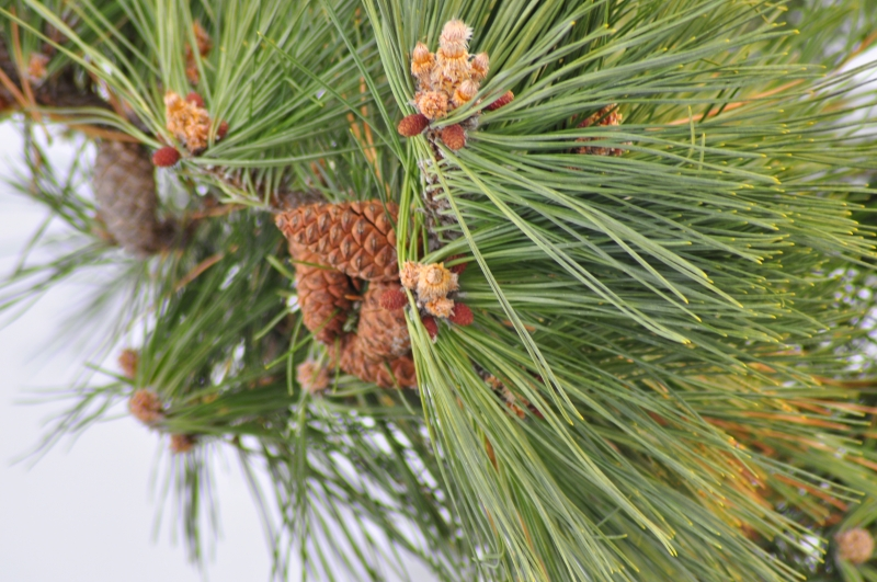 Pine Cones. Seeds Of Spring.