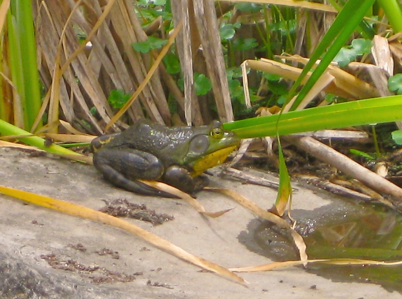 A Frog At The Oregon Garden