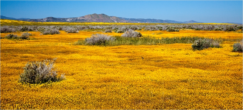 Goldfield, Carrizo Plain