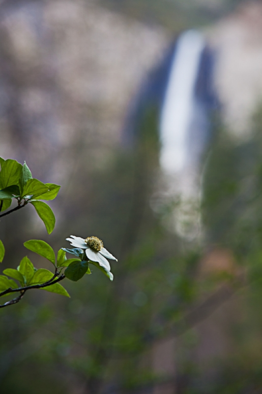Bridalveil Falls And Blooming  Dogwood