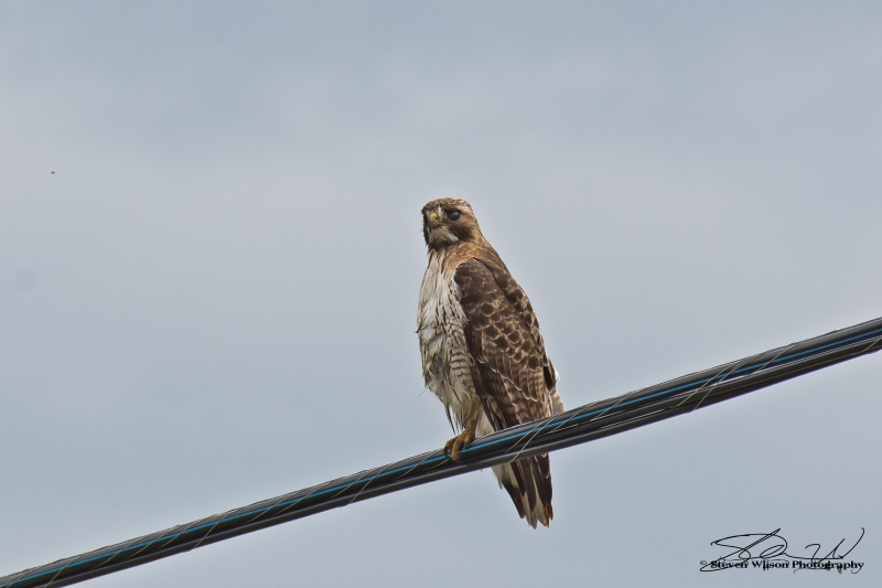 Observing Red Tailed Hawk