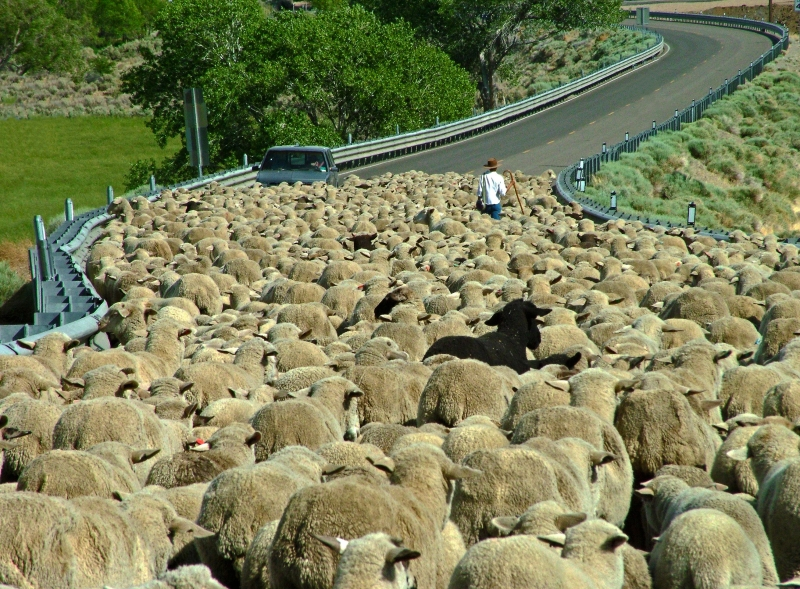 Stomach Deep In A Band Of Sheep