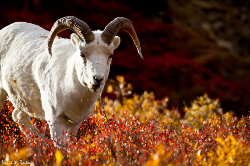Ram Dall's Sheep (ovis Dalli)