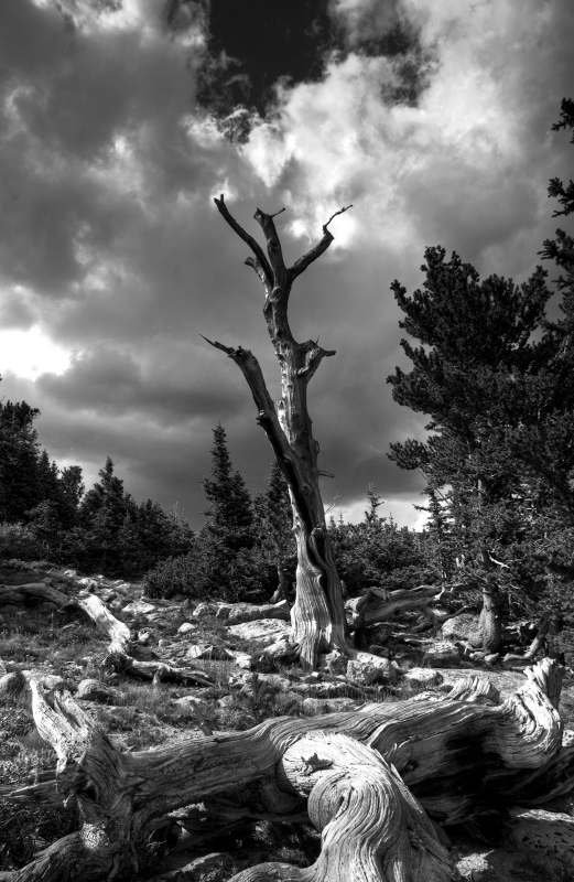 Lone Bristlecone Pine On Mt Evans