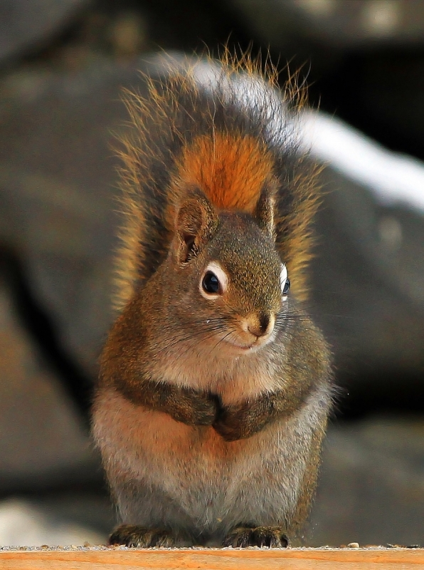 Sorry I Ate All The Bird Seed – Alaska Red Squirrel