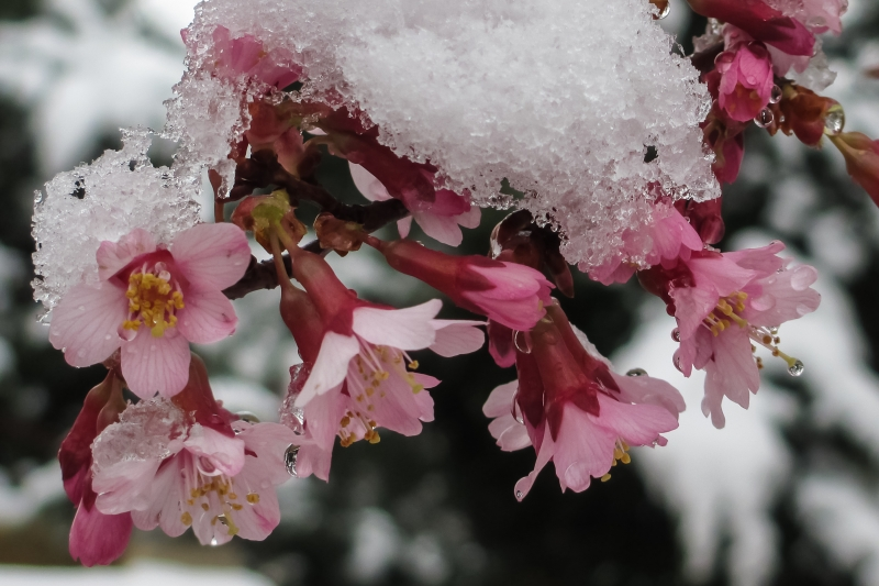 Okame Cherry In Snow