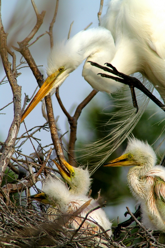 Hungry Egret Chicks
