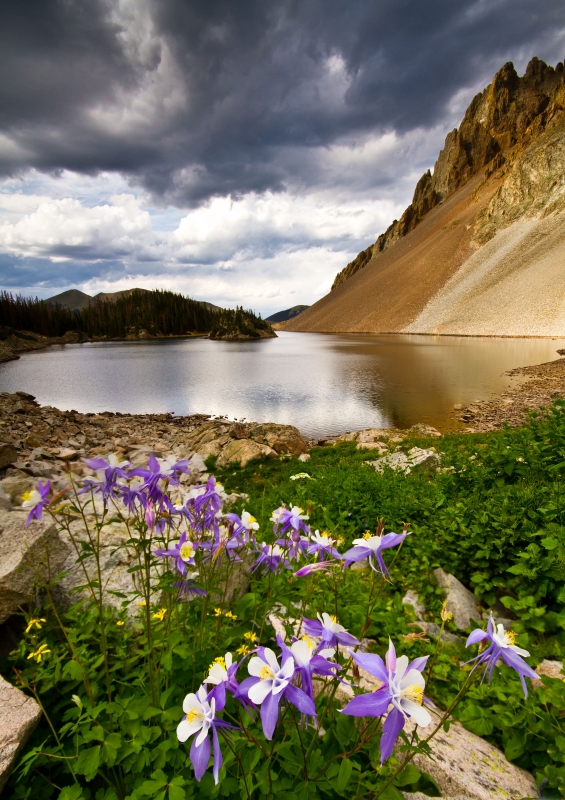 Columbines Over Lake Agnes
